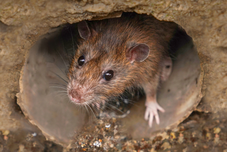 Are rats entering your house through your drainage system?